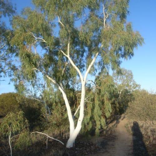 Eucalyptus victrix Grey Leaf Form