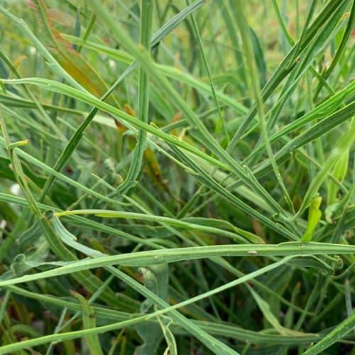 Grass Wattle
