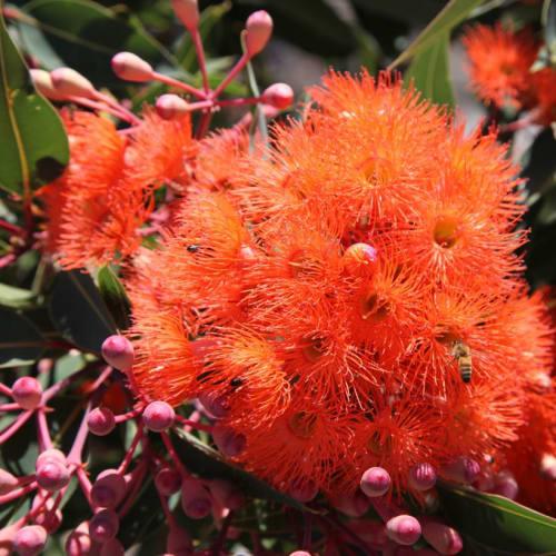 Phils Orange Flowering Gum