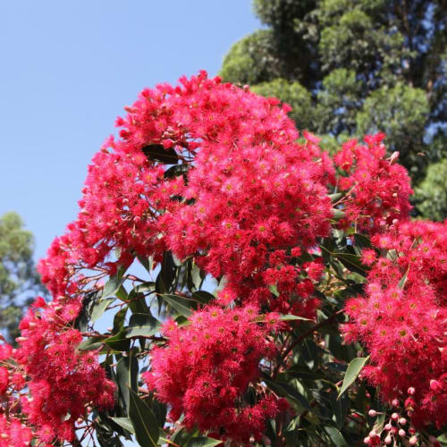 Red All Over Flowering Gum