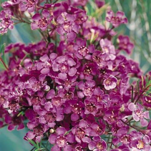 Chamelaucium sp. Burgundy Blush
