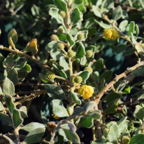 Acacia gregorii Prostrate