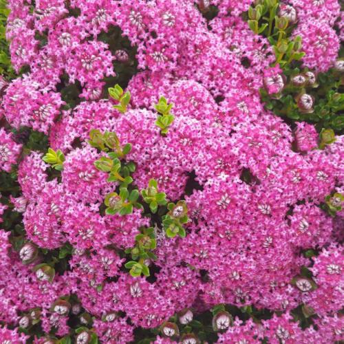 Magenta Mist Rice Flower