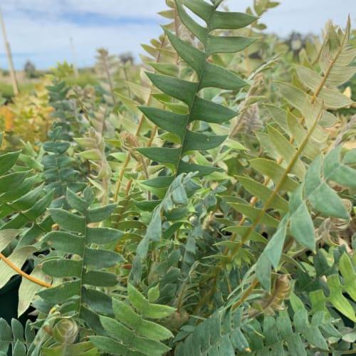 Banksia catoglypta