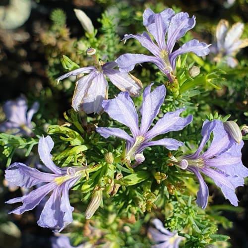 Purple Lechenaultia