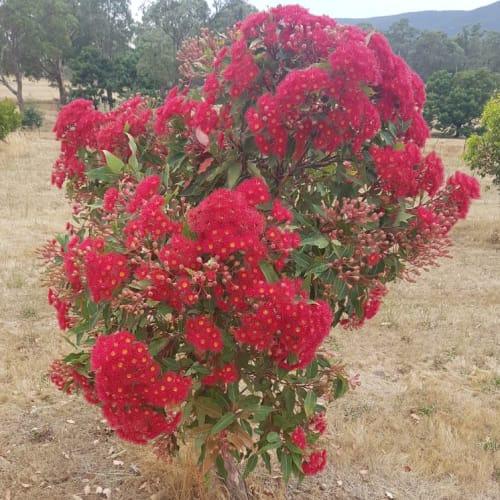 Crimson Blaze Flowering Gum