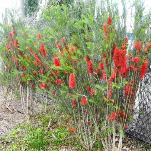 Pencil Bottlebrush