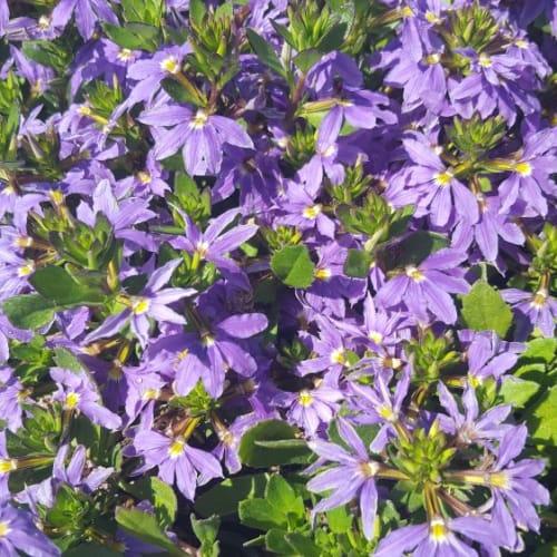 Purple Fanfare