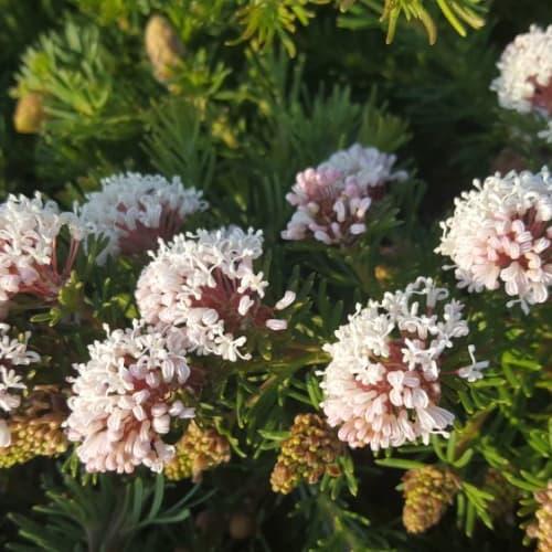 Grevillea crithmifolia Shrub Form