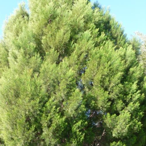Rottnest Island Pine