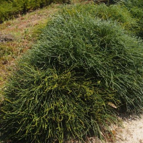 Honeypot Dryandra