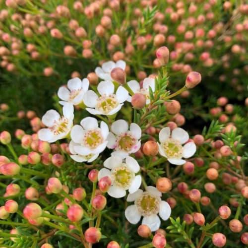 Morning Delight Wax Flower