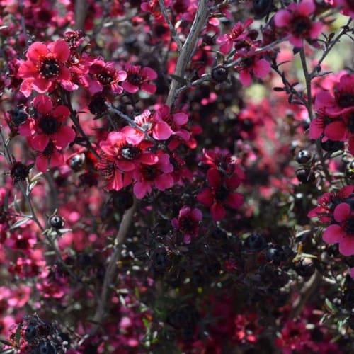 Dwarf Red Tea Tree