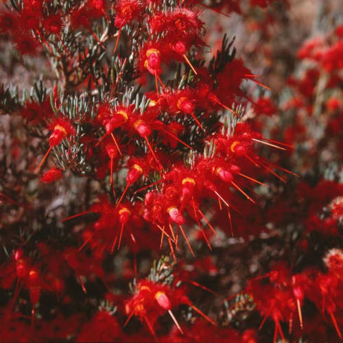 Rapier Featherflower