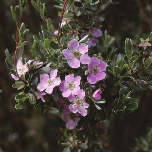 Leptospermum sericeum Pencil PBR