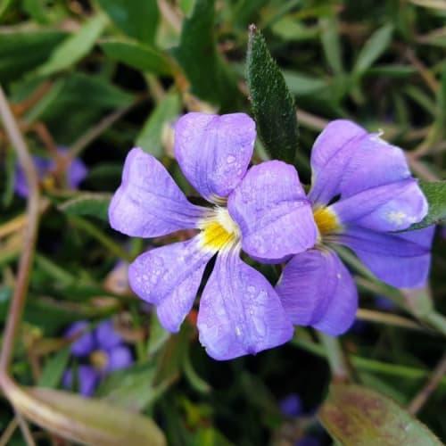 Misty Blue Fan Flower