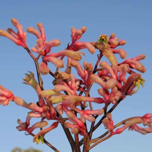 Landscape Pink Kangaroo Paw