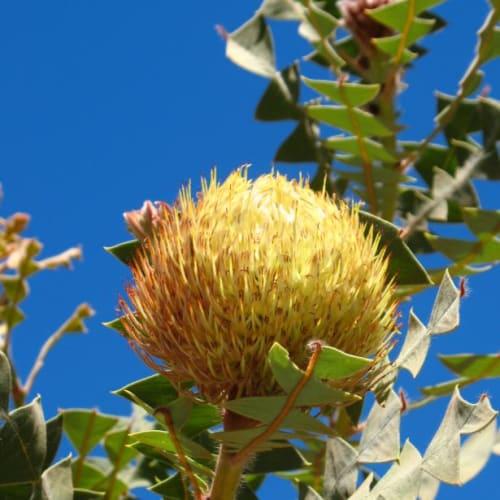 Birds-nest Banksia