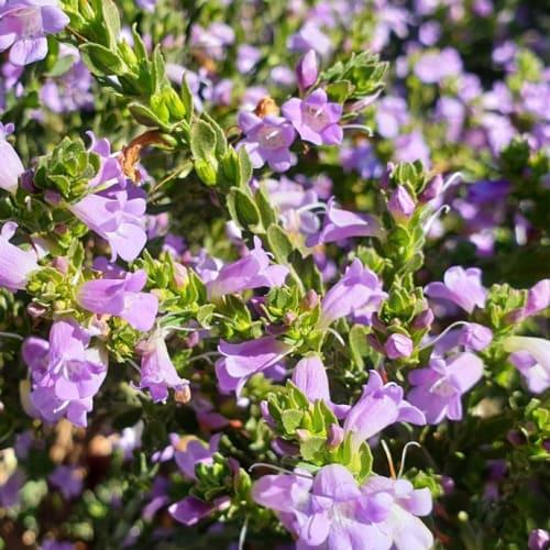 Eremophila lehmanniana Mauve Bells