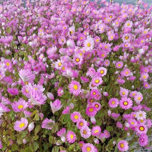 Pink Sunray Everlastings