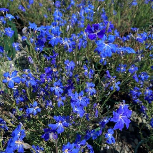 Autumn Blue Lechenaultia