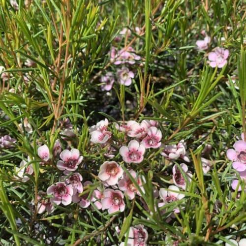 Kerryn Wax Flower