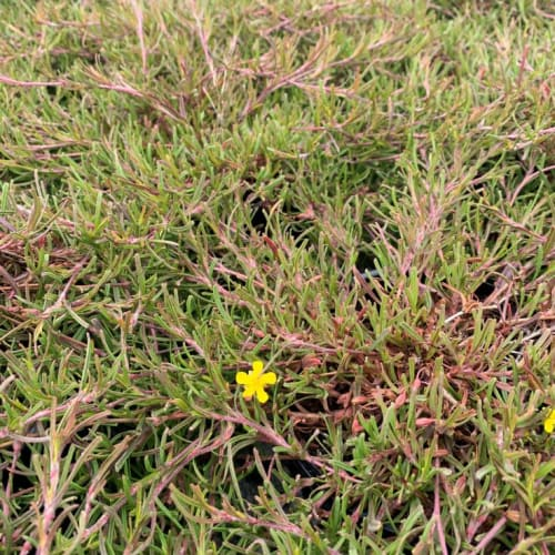 Hibbertia racemosa Racey Rambler PBR