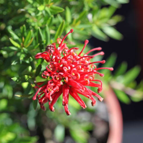 New Blood Grevillea