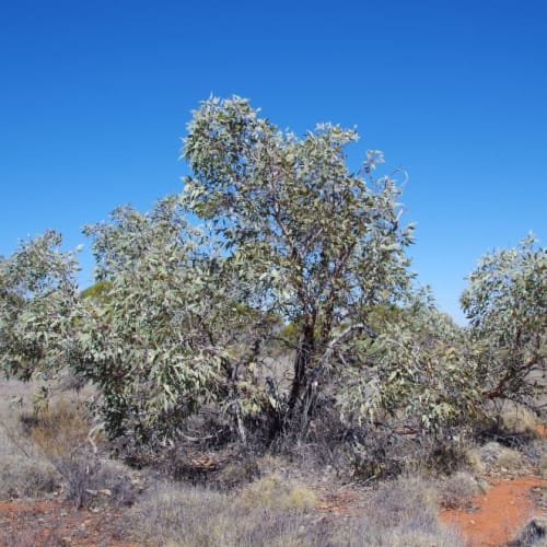 Large-fruited Mallee