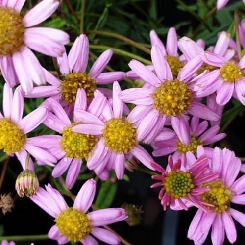 Brachyscome angustifolia Pink