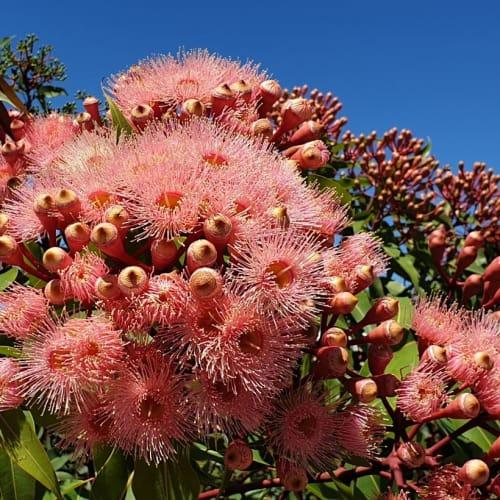 Summer Beauty Flowering Gum