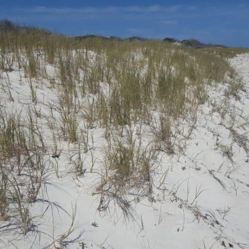 Beach Spinifex