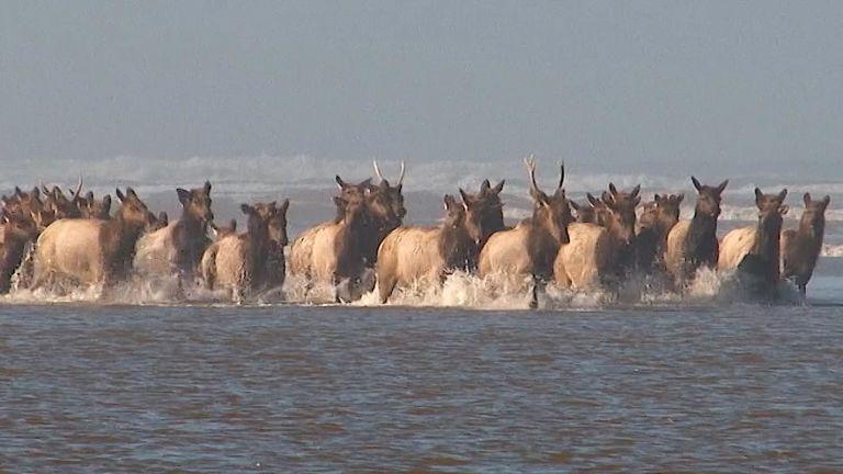 Elk Get Aquatic!