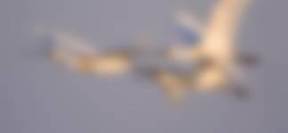 Veel broedende lepelaars in Quackjeswater
