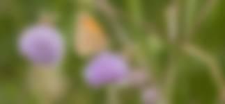 Bruin zandoogje op blauwe knoop in blauwgrasland