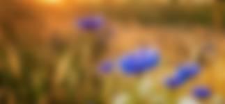 Wilde bloemen op de akker