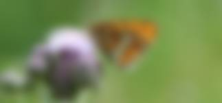 Grote parelmoervlinder op distel in bloemrijke akker