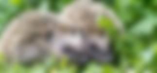 Jonge egels tuintip