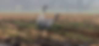 Kraanvogel fochteloerveen