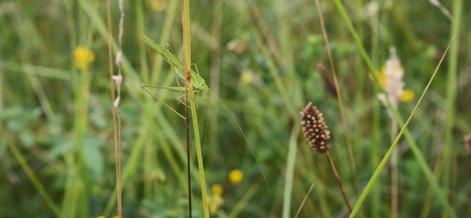 Zeldzame sikkelsprinkhaan Voorsterbos