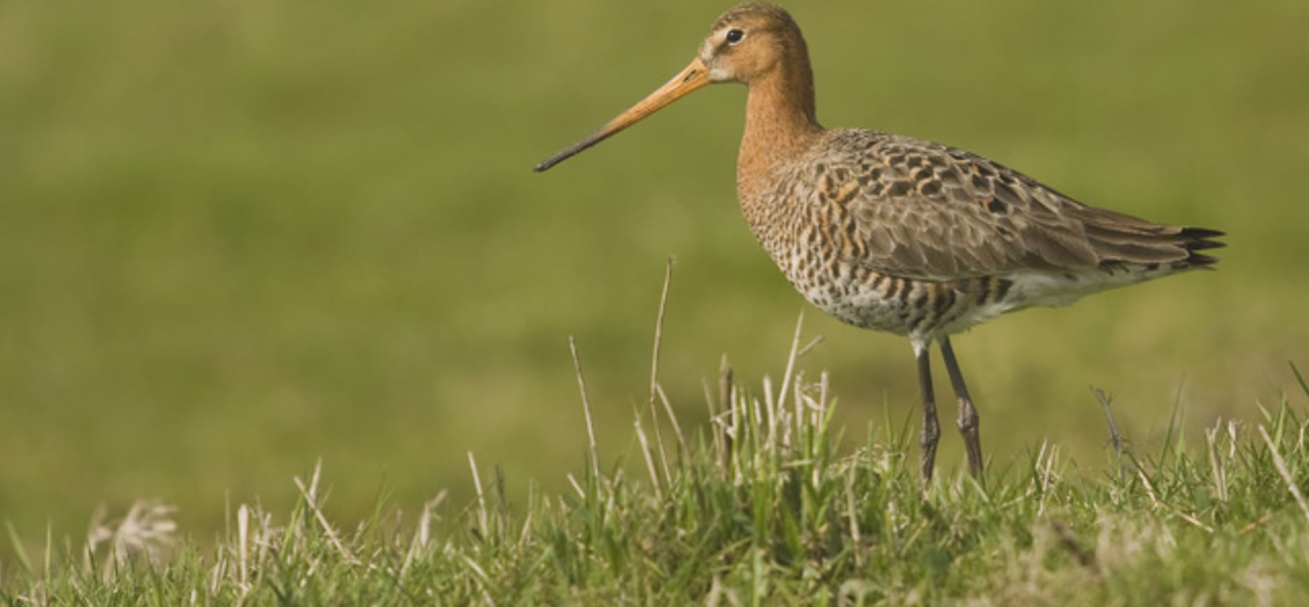 Nieuwe natuur voor weidevogels in Midden-Delfland
