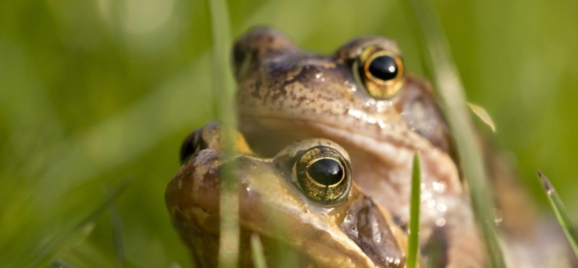 Recordaantal amfibieën overgezet bij Voorsterbos