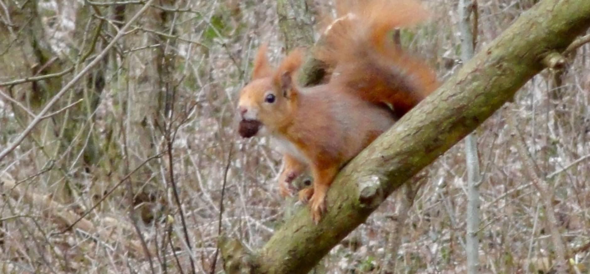 Foto: Eekhoorn in Voornes Duin