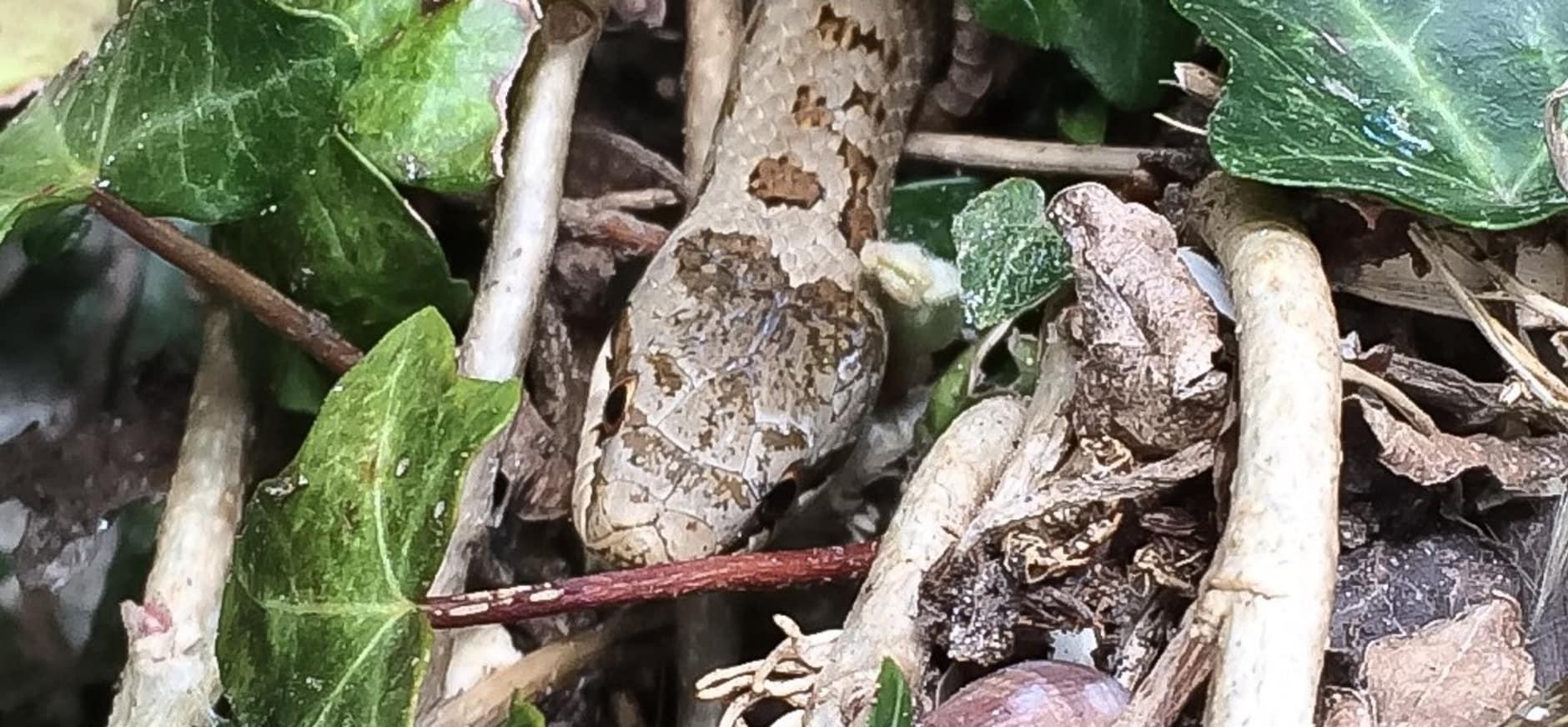 Gladde slangen op Sint-Pietersberg
