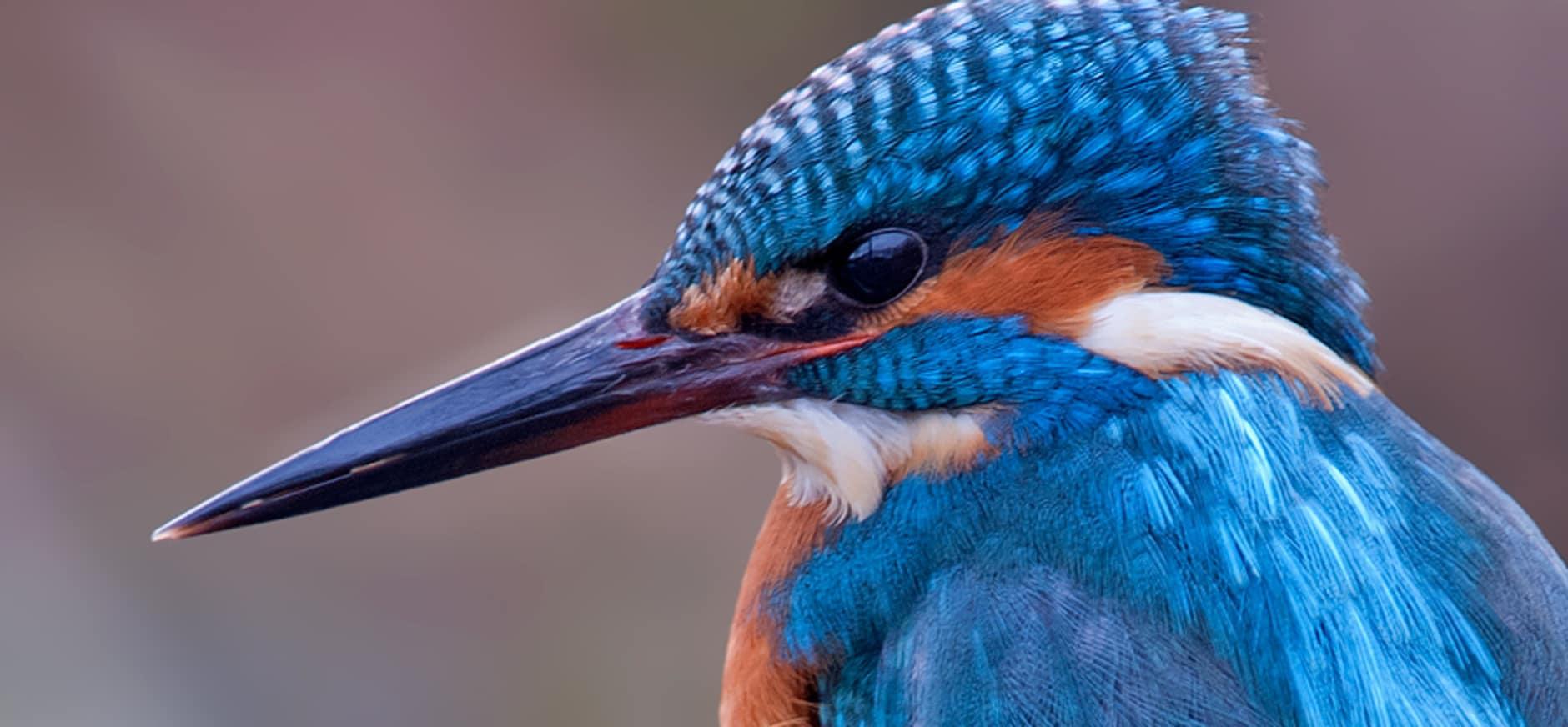 IJsvogel in de Nieuwkoopse Plassen hoopt vurig op dooi