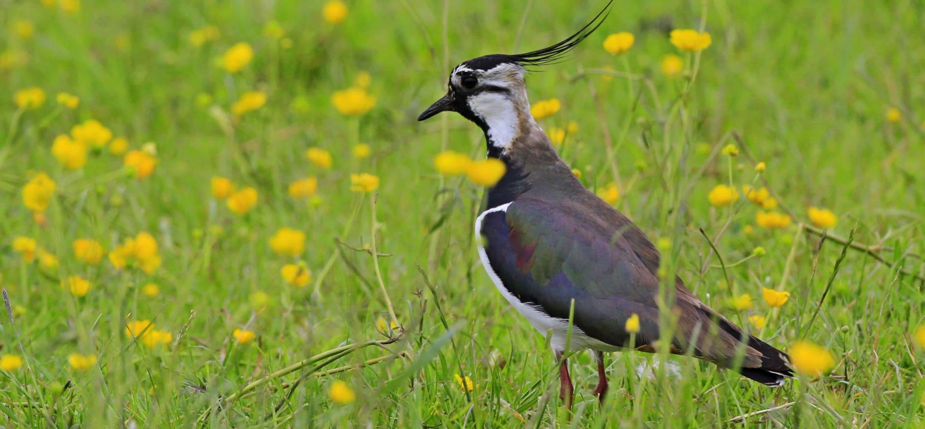 Aantallen weidevogels Polder Noord-Kethel gegroeid