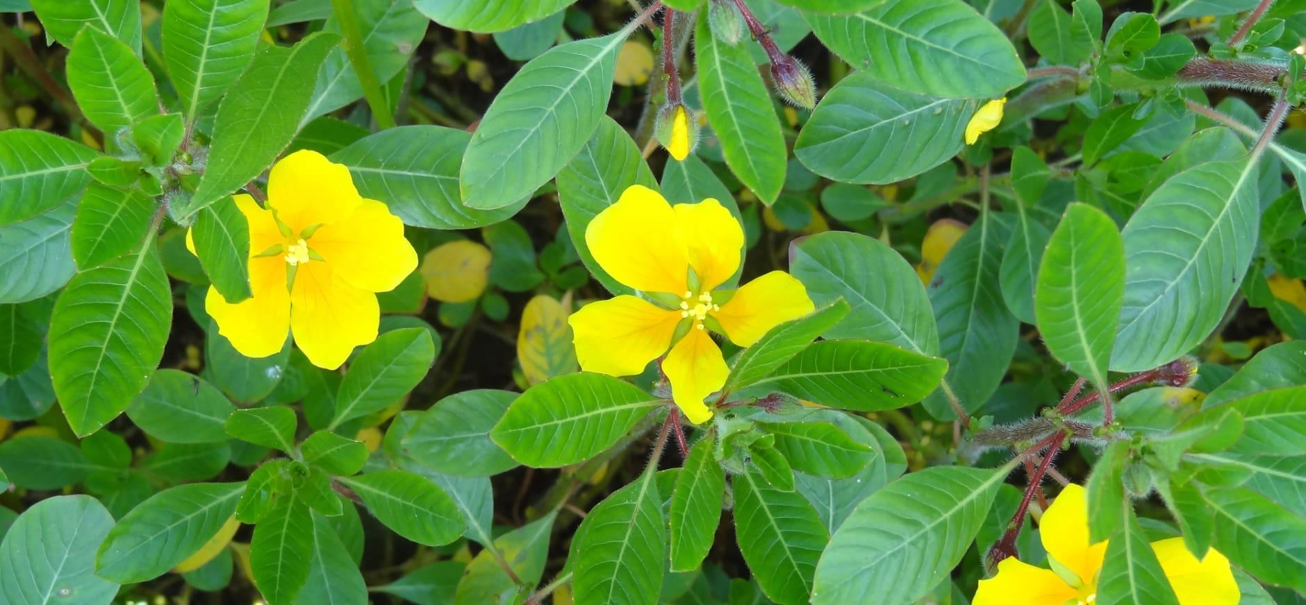 Help jij mee de kleine waterteunisbloem op Tiengemeten te bestrijden?