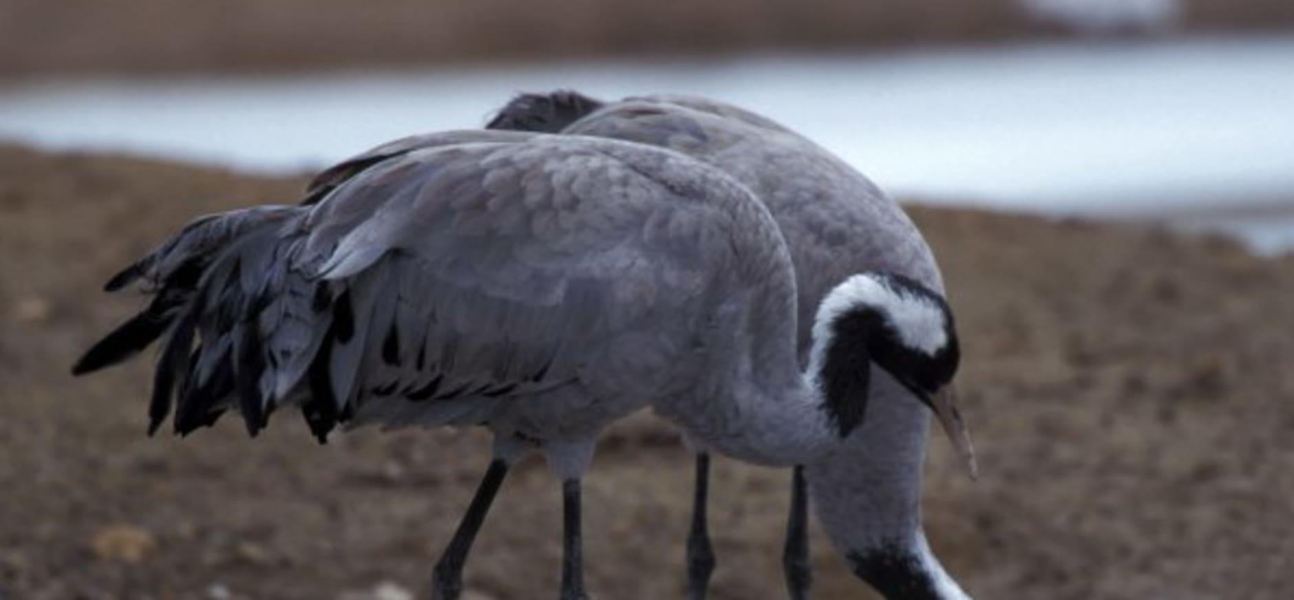 Koppeltje kraanvogels: excursies verplaatst naar Wooldse Veen