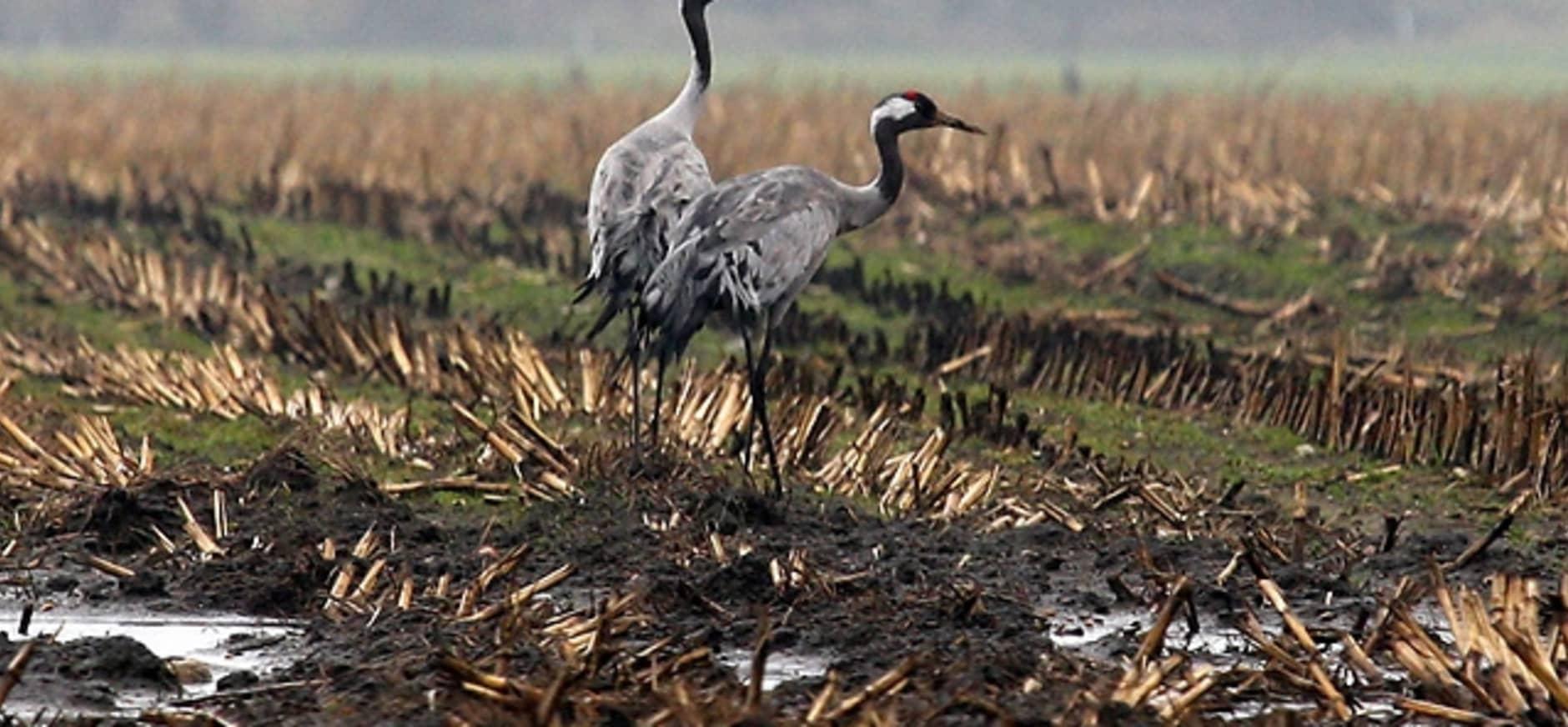 Kraanvogels op akker naast Wooldse Veen