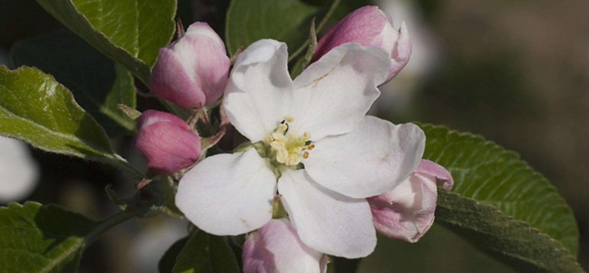 De wilde appels van Schiermonnikoog